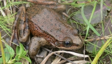 California Red-legged Frog-male