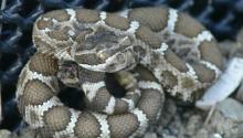 Western Rattlesnake-juvenile