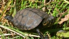 Western Pond Turtle-Hatchling
