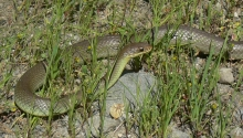 Yellow-bellied Racer