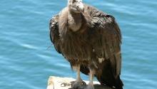 California Condor-Juvenile