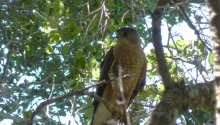 Cooper's Hawk- Female