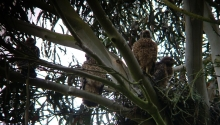 Red-shouldered Hawk Fledglings