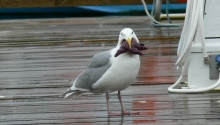 Western Gull (with Sea Star)