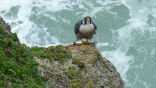Peregrine Falcon-female