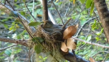 American Robin on eggs