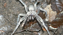 Calisoga Spider