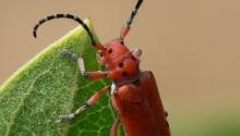 Milkweed Longhorn Beetle