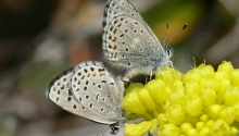 Pacific Dotted-Blue Butterfly