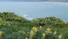 Coastal Bluff Habitat-Bodega Bay