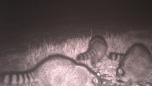 Raccoons (camera trap)