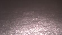 Bobcat (camera trap)