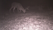 Mule Deer Male (camera trap)