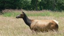 Tule Elk- Female