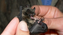 Long-legged Myotis
