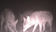Coyotes (camera trap)