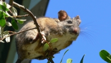 San Francisco Dusky-footed Woodrat