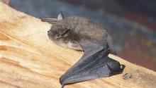 Yuma Bat